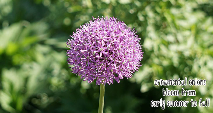 ornamental onions make a good honey plant